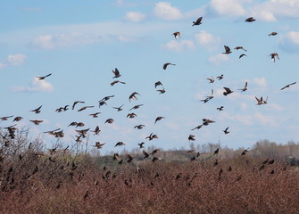Flock of birds, Common Starling, Sturnus vulgaris