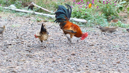Cock and hen with chickens eating rice