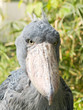 Portrait of unique shoebill bird