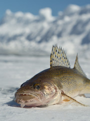 Sauger caught Ice Fishing