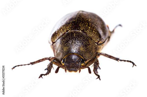 Isolated Maybug Beetle