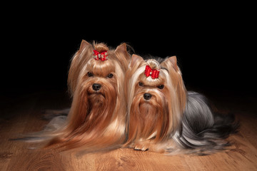 two yorkie puppies on wooden texture