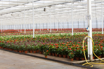 Anthurium nursery in a green house