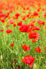 Field of poppies with beauty sky
