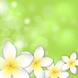 Plumeria_ flower background