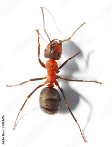 The Red Wood Ant (Formica Rufa). Close up with shallow DOF.