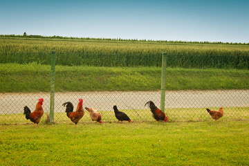 roosters and hens in a row