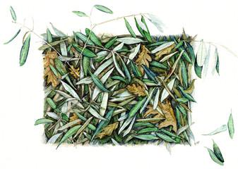 foglie di olivo - Olea europaea