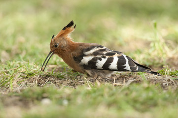 Hoopoe  catching an insect