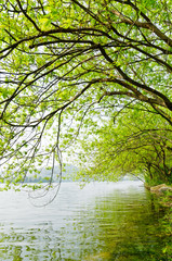 Willow trees along the river