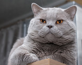 close-up portrait British shorthair blue cat
