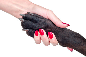 Friendly handshake of dog and  woman. Isolated