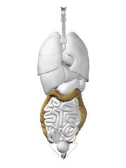 Human organ anatomy