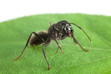 Ant standing on green leaf