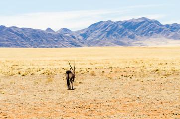 Oryx (Oryx gazella) in a desert landscape