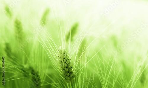 Wheat field - 51408093