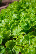 Lettuce seedlings in a vegetable garden