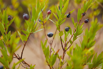 Ripe blue berries on myrtle branches