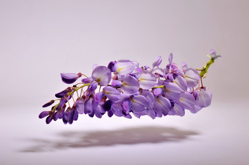Wisteria Sinensis - Mor salkim - Purple cluster - Levitation