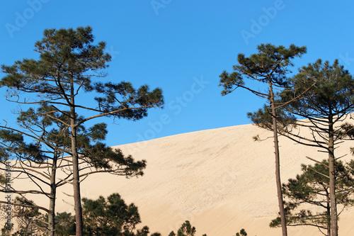 Pins et dune du littoral de gironde