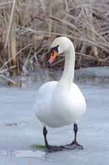 Łabędź na lodzie wczesna wiosna