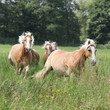 Batch of chestnut horses running together in high grass