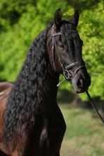 Beau cheval frison avec le vert de printemps sur le fond