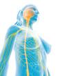 3d rendered medical illustration - female nerves