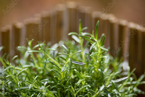 rosemary in sunlight