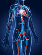3d rendered medical illustration - female vascular system