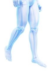 3d rendered medical illustration - skeletal legs