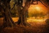 Fototapety Old olive tree