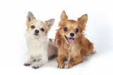 two chihuahua   dogs lying down on white background