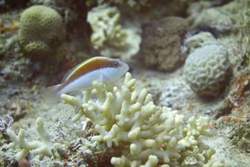 Freckled Hawkfish (Paracirrhites Forsteri) on a coral