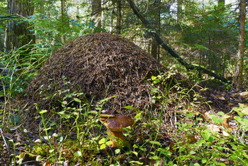 Ant hill in a forest