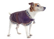 jack russel terrier with coat