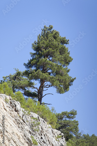 pine tree at mountain in turkey
