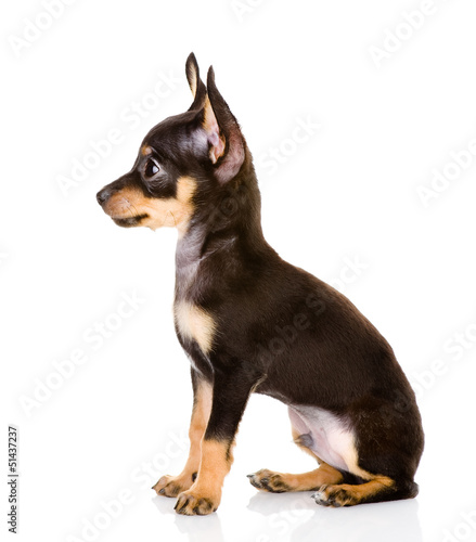 Toy Terrier profile. isolated on white