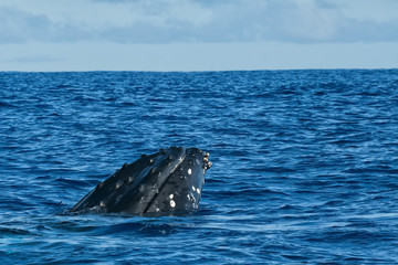 Humpback whale head comuing up in deep blue polynesian ocean