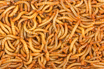 Background of mealworms