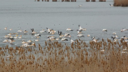 Super Large Flock of Great White Pelicans... (Danube Delta)