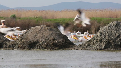 Large Flock of Great White Pelicans... (Danube Delta)