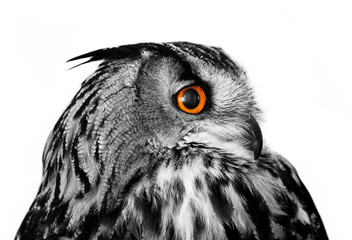 owl looking right