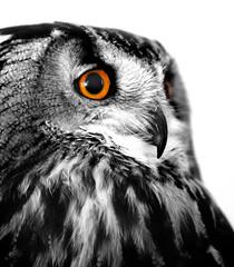 owl white background