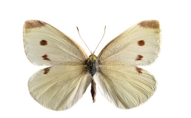 The small white (Pieris rapae).