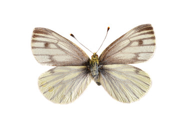 The Green viened white (Pieris napi) isolated