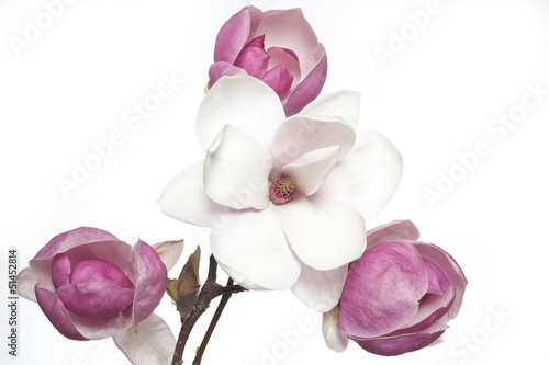 White and pink magnolia flower