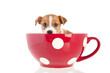 Jack Russel puppy in red cup