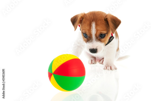 Six weeks old Jack Russel with ball
