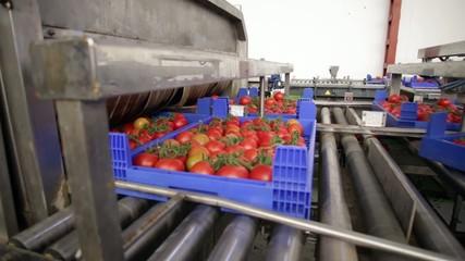 Limpeza tomate ramillete